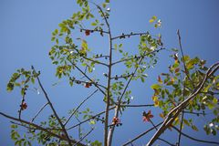 Leaf of  Bombax ceiba tree. Leaf of Bombax ceiba tree with blue sky background Stock Images