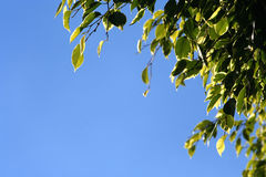 Free Leaf Border Stock Photography - 1420542