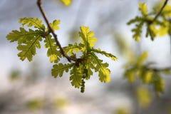 Leaf born. Oak tree leaf born Royalty Free Stock Images