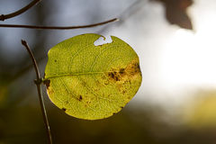 Leaf and branch on a gleam in the sun. Close-up as the flag of the film Stock Photography