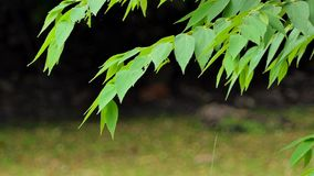 Leaf on branch in public park. Leaf on branch near pond in public park., nature backgrounds stock video footage
