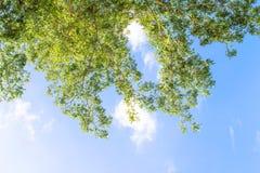 Leaf branch on sky background Stock Photography