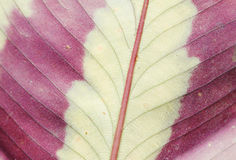 Leaf with bright colors in Hawaii Royalty Free Stock Image