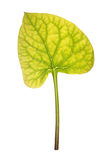 Leaf of Brunnera isolated on white Royalty Free Stock Photo