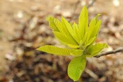 Leaf bud Royalty Free Stock Image