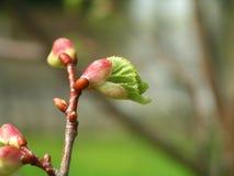 Leaf buds. Several leaf buds in the garden in spring Stock Images