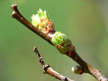 Leaf Buds Royalty Free Stock Images