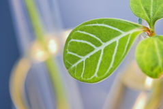 Leaf buds in test-tube Royalty Free Stock Image