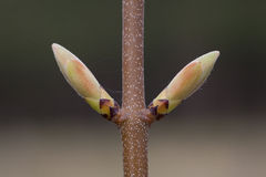 Leaf buds of young sycamore Royalty Free Stock Photography