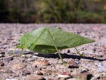 Leaf bug. A leaf bug resting on a cement wall on a summer day Stock Photos