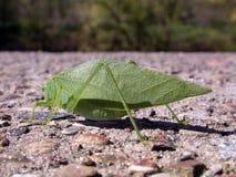 Leaf bug. A leaf bug resting on a cement wall on a summer day stock photos