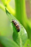 Leaf bug Stock Photo