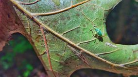 Leaf bug. Beautiful frog on a green leaf with water Royalty Free Stock Image