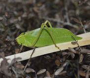 Leaf Bug Royalty Free Stock Photography