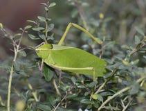 Leaf Bug Stock Photography