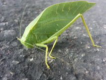 Leaf bug Stock Image