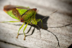 Leaf bug. Common green leaf bug resting on a bench Stock Images