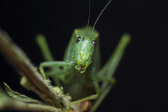 Leaf bug on a stick. Staring at you royalty free stock photos