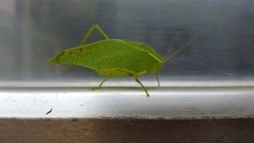 Leaf bug on window sill Royalty Free Stock Photo