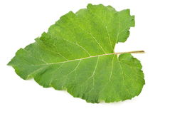 Leaf of burdock Royalty Free Stock Photography