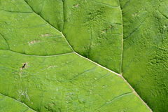Leaf of a butterbur. Royalty Free Stock Images
