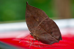 Leaf butterfly Stock Images