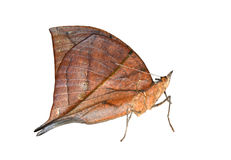 Leaf Butterfly royalty free stock photo