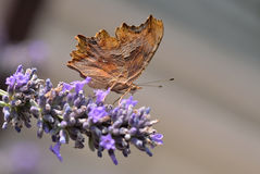Leaf Butterfly Royalty Free Stock Image