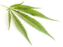 A leaf of Cannabis. Stock Image