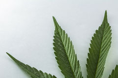 Leaf of Cannabis Stock Images