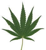 Leaf of Cannabis Sativa Stock Photo