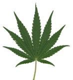 Leaf of Cannabis Sativa Stock Photo