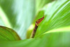 Leaf of cannaceae Royalty Free Stock Image