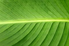 Leaf of cannaceae Royalty Free Stock Photography