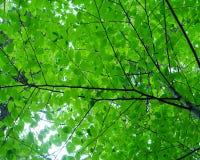 Leaf_Canopy Стоковые Изображения