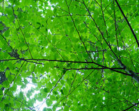 Leaf_Canopy Stock Afbeeldingen