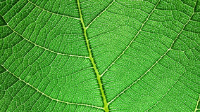 Leaf capillary network Royalty Free Stock Photos