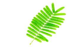 Leaf Catechu Herbal Closeup stock image