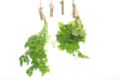 Leaf celery and chervil in a white background. Pictured Leaf celery and chervil in a white background Royalty Free Stock Images
