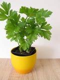 Leaf celery in flowerpot. Leaf celery in yellow flowerpot stock image