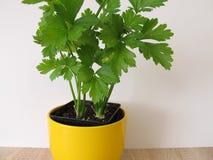 Leaf celery in flowerpot. Leaf celery in yellow flowerpot stock photography