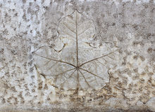 Leaf on cement texture background Royalty Free Stock Image