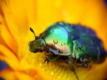 Leaf Chafer Beetle. Summer macro Royalty Free Stock Images