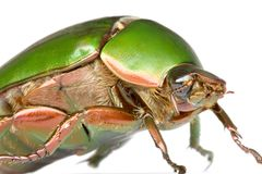 Leaf Chafer Beetle Royalty Free Stock Photo