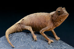 Leaf Chameleon / Brookesia stumpffi Stock Photo
