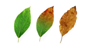Leaf change Royalty Free Stock Photo