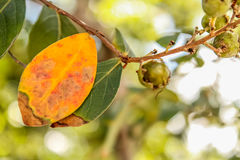 Leaf Changing Colors Royalty Free Stock Photography