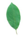 A Leaf of a Cherry Stock Photos