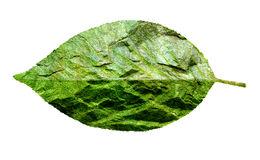 Leaf of cherry blossom double exposure on rock texture isolated Royalty Free Stock Photo