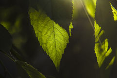Leaf of cherry Royalty Free Stock Images